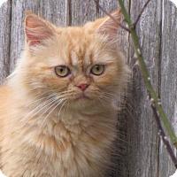 Adopt A Pet :: Ginger - DFW Metroplex, TX