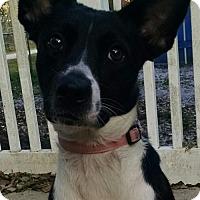 Border Collie Dog for adoption in Oviedo, Florida - Snuggles