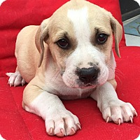 Adopt A Pet :: Andrew - St Petersburg, FL