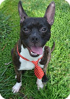Boston Terrier/Chihuahua Mix Dog for adoption in High Point, North Carolina - Bowie