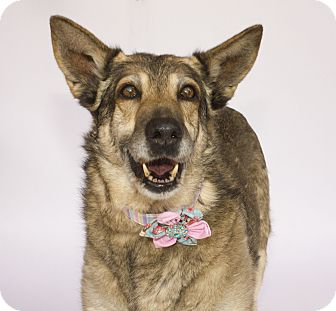 German Shepherd Dog Dog for adoption in Acton, California - Dusty
