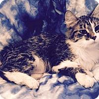 Adopt A Pet :: Brandine - Addison, IL
