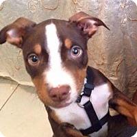 Adopt A Pet :: Gremlin - Fort Lauderdale, FL