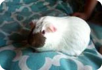 Guinea Pig for adoption in Edmonton, Alberta - Jane