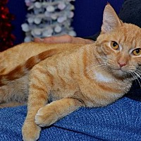 Domestic Shorthair Cat for adoption in Lenexa, Kansas - Clementine