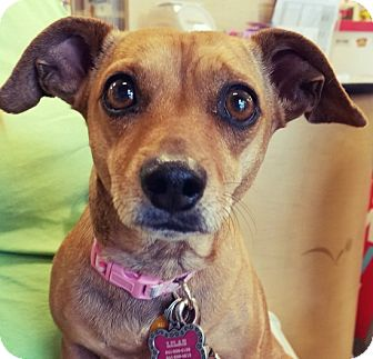 Dachshund/Chihuahua Mix Dog for adoption in North Las Vegas, Nevada - Sandy