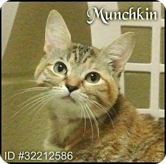 Domestic Shorthair Cat for adoption in Irving, Texas - Munchkin
