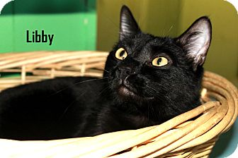 American Shorthair Cat for adoption in Arkadelphia, Arkansas - Libby