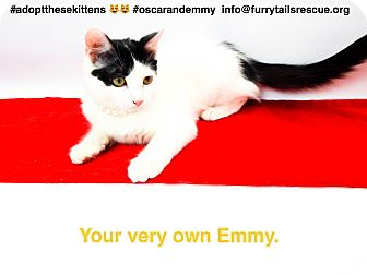 Domestic Mediumhair Kitten for adoption in Pacific Palisades, California - Emmy