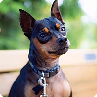 Miniature Pinscher/Chihuahua Mix Dog for adoption in Pitt Meadows, British Columbia - Rin Tin Tin