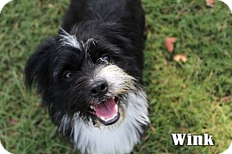 Terrier (Unknown Type, Small) Mix Dog for adoption in Texarkana, Arkansas - Wink