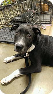 Labrador Retriever/Staffordshire Bull Terrier Mix Puppy for adoption in Snow Hill, North Carolina - Cal-NEW LEASH ON LIFE
