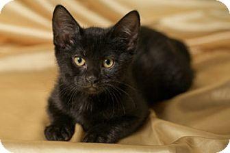 Domestic Shorthair Kitten for adoption in Lombard, Illinois - Breve