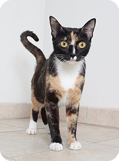Domestic Shorthair Cat for adoption in Edina, Minnesota - Clara C160367