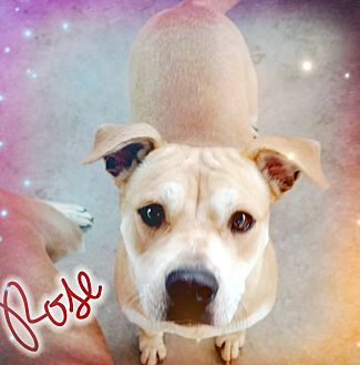 Bulldog Mix Puppy for adoption in Odessa, Texas - Rose