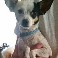 Chihuahua/Terrier (Unknown Type, Medium) Mix Dog for adoption in Mesa, Arizona - Birdy
