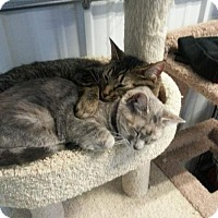 Domestic Shorthair Cat for adoption in Detroit Lakes, Minnesota - Porscha