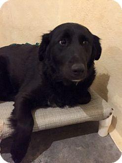 Labrador Retriever/Border Collie Mix Dog for adoption in Folsom, Louisiana - Becca