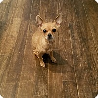 Chihuahua Dog for adoption in Greensboro, Georgia - Nina