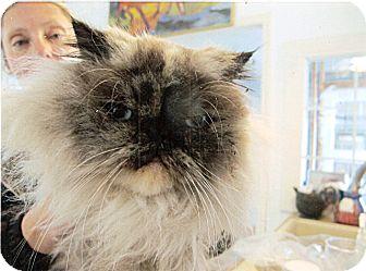 Himalayan Cat for adoption in Davis, California - Shelley