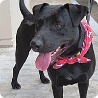 Labrador Retriever Mix Dog for adoption in Houston, Texas - Rubin