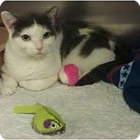 Adopt A Pet :: Mittens - Staten Island, NY
