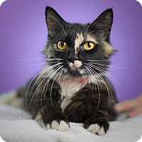Domestic Mediumhair Cat for adoption in Los Angeles, California - Maggie