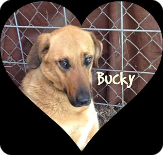 Labrador Retriever/German Shepherd Dog Mix Dog for adoption in Princeton, West Virginia - Bucky