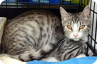 Domestic Shorthair Cat for adoption in White Bluff, Tennessee - Lee/marina