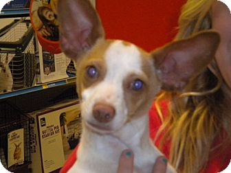 Chihuahua/Terrier (Unknown Type, Medium) Mix Dog for adoption in Fresno, California - Mr Ears