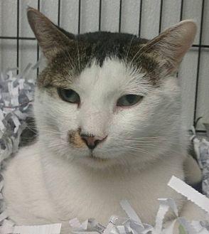 Domestic Shorthair Cat for adoption in Pottsville, Pennsylvania - Kid Kid