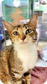 Domestic Shorthair Cat for adoption in Fort Smith, Arkansas - Lily