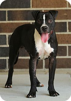 Pit Bull Terrier Mix Puppy for adoption in Lafayette, Indiana - Samson