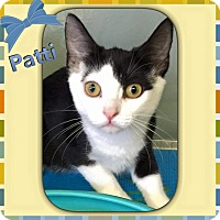 Domestic Shorthair Kitten for adoption in Atco, New Jersey - Patti