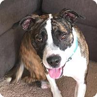 Adopt A Pet :: Luca - Lebanon, ME