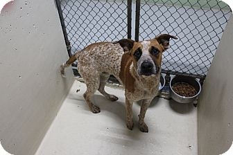 Cattle Dog Mix Dog for adoption in Odessa, Texas - A33 John