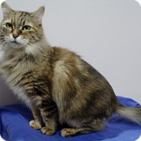 Maine Coon Cat for adoption in Howell, Michigan - Delilah