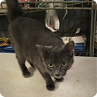 Domestic Shorthair Cat for adoption in The Village, Oklahoma - Green-Eyed Kitty