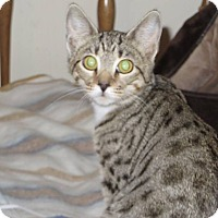 Domestic Shorthair Cat for adoption in Los Angeles, California - Lucy *Funloving Foursome*