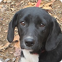 Adopt A Pet :: Allie - Spring Valley, NY