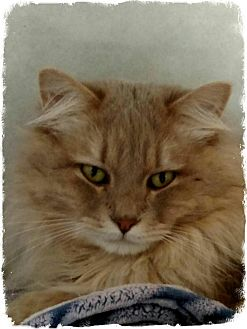 Domestic Longhair Cat for adoption in Pueblo West, Colorado - Gandolf