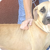 Adopt A Pet :: Tracey - St. Thomas, VI