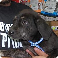 Adopt A Pet :: Brinkley - Brooklyn, NY
