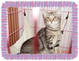 Domestic Mediumhair Kitten for adoption in KANSAS, Missouri - BAMBI