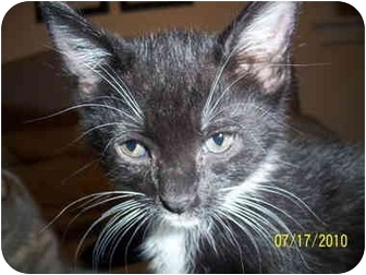Domestic Shorthair Kitten for adoption in Cleveland, Ohio - Chachi