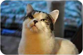 Domestic Shorthair Cat for adoption in Boston, Massachusetts - June