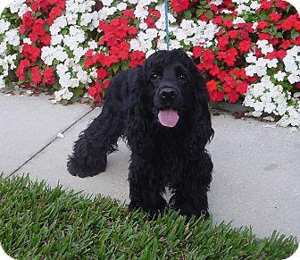 Cocker Spaniel Puppy for adoption in Franklin, North Carolina - Rocky