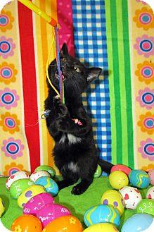 Domestic Shorthair Kitten for adoption in Orlando, Florida - Joon