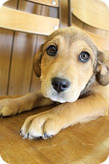 Beagle/Labrador Retriever Mix Puppy for adoption in Hamburg, Pennsylvania - Halo