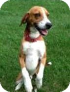 Hound (Unknown Type) Mix Dog for adoption in Richmond, Virginia - Red